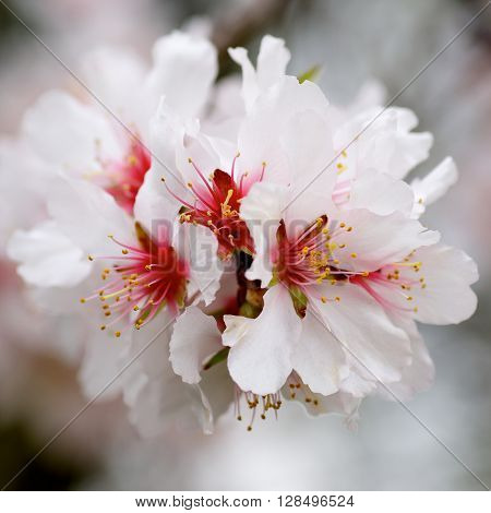 Beauty White and Red Cherry Blossoms on Blurred Cherry Tree Branches closeup. Focus on Pistil with Pollen
