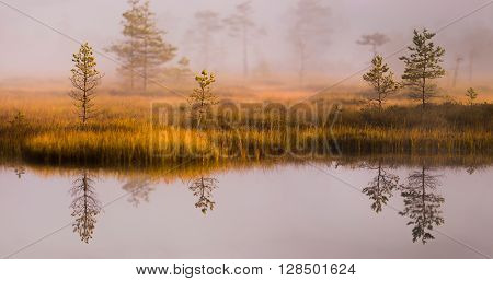 Bog landscape in the morning with bog pines by the lake and reflection in the water.