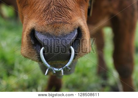 closeup on nasal ring worn by a dairy cow