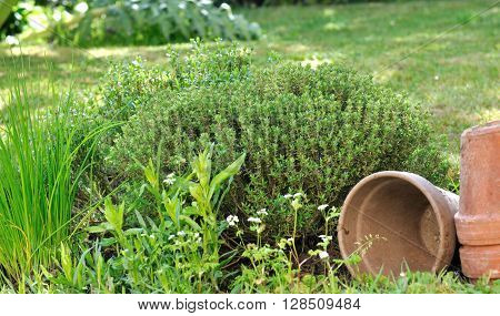 aromatic herbs with pots in a garden