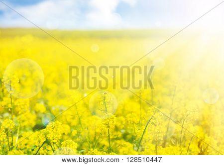 Beautiful rape in the field with sunlight