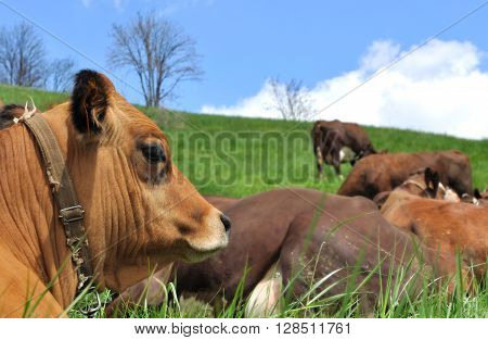 head of cow in front of lying caw in pasture
