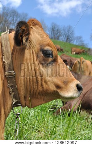 closeup on a haed of brow cow in pasture