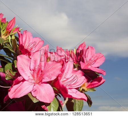 Pink azalea in bloom with clouds and sky behind