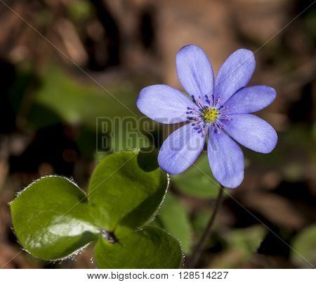 Nature. Flower snowdrop blue spring and green leaves