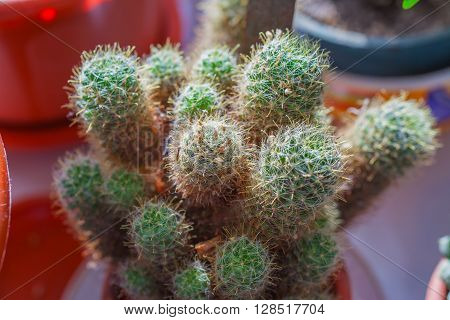 Cactus close-up with lots of needles.Macro photography.