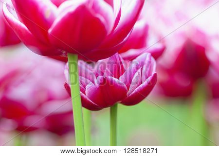 Closeup of Tulip Flower at Blossom in Spring