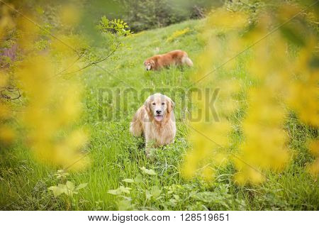 Golden Dogs in the flowers and field