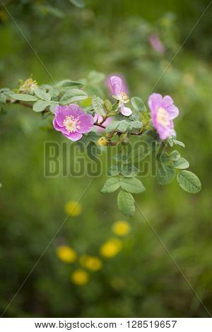 Soft nature background alberta rose