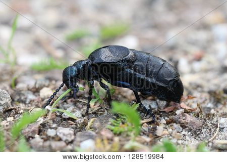 This is a Meloe proscarabaeus a smal blue / black beetles.