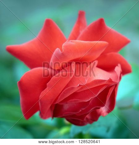 Tilted red rose on the blue background
