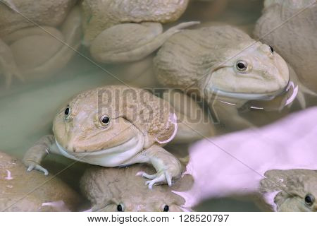 Frogs in the farm - Chinese edible frog East asian bullfrog Taiwanese frog