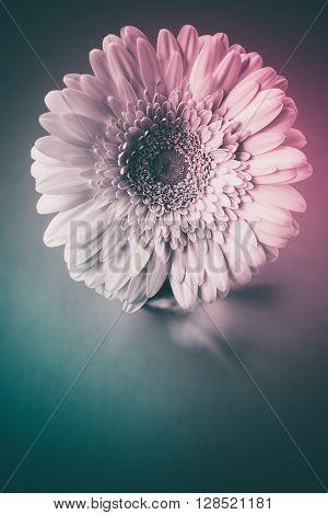 Gerber flower on a dark background. Color vintage toning selective focus
