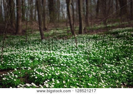 Sunlit Forest Full Of Snowdrop Flowers In Spring Season - Wide-angle View  Nature With Extremely Blu
