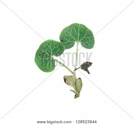 Pressed and dried flower wild ginger (asarum europaeum). Isolated on white background