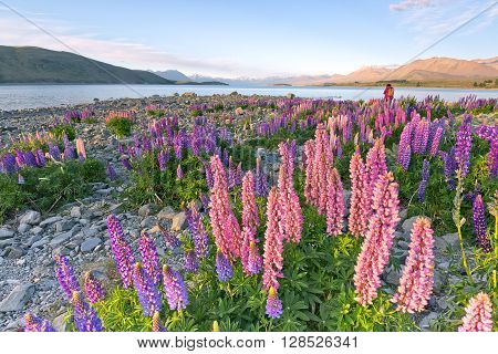 A photographer composing a shot of lupines flowers