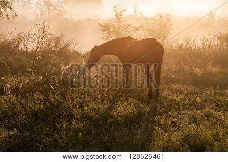 Silhouette of a beautiful Arabian horse against sunrise in heavy fog, in rich sepia tone.