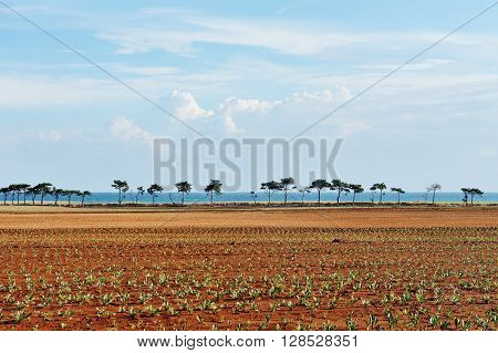 landscape with cultivated field under blue sky in Apulia southern Italy