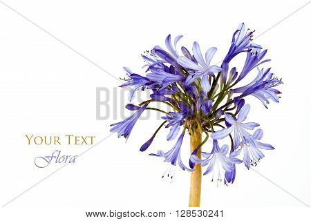 Violet flowers isolated on white background .