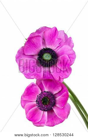 Purple anemone flower isolated on white .