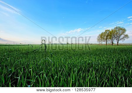 Green wheat in the field with a blue sky