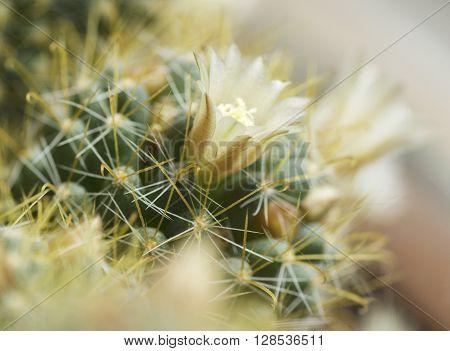 blooming cactus mammilyariya proliferation of white background macro ** Note: Visible grain at 100%, best at smaller sizes