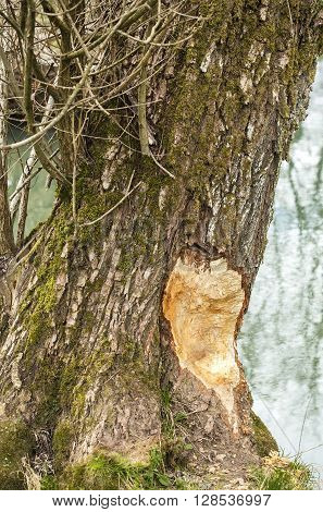 Damaged tree by a beaver in a nature.