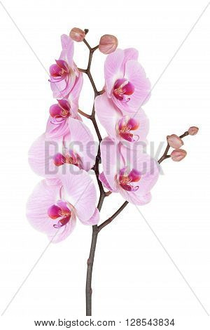 Pink streaked orchid flower (Phalaenopsis) isolated on white background