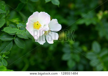 Photo of rose hip blossom of white color in fresh green nature.