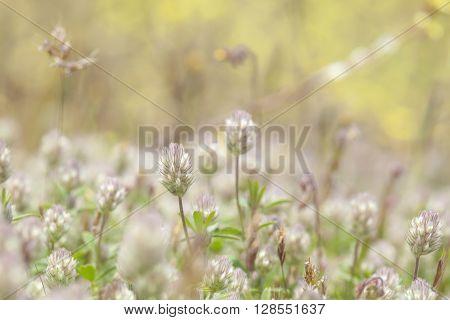 Flora Of Gran Canaria, Flowering Trifolium Arvense