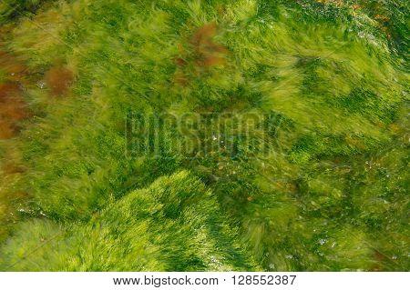 green algae in the sea water background