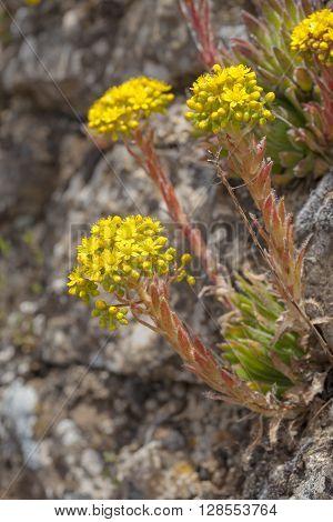 Flora Of Gran Canaria, Flowering Aeonium Simsii