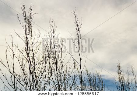 Silhouette of some leafless branches in a cloudy sky
