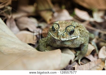 Asian common toad (duttaphrynus melanostictus) on brown leaves. Also known as Asian toad black-spectacle toad common Sunda toad and Javanese toad widely distributed in south and southeast asia.