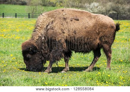 Bison grazing on flowering meadow in the corral