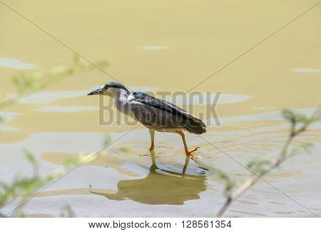 Black crowned night heron bird walking in water looking for prey