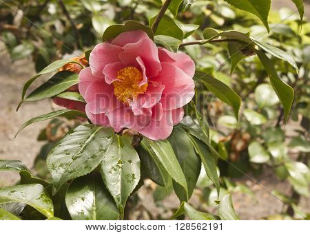 A photo of a tender pink camellia japonica with green leaves and yellow stamens with drops of water after the rain on a blurred natural background