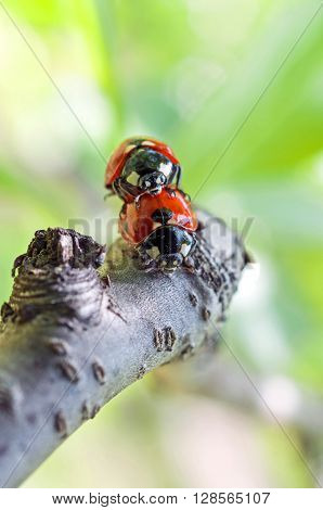 Two ladybugs mating on the tree branch