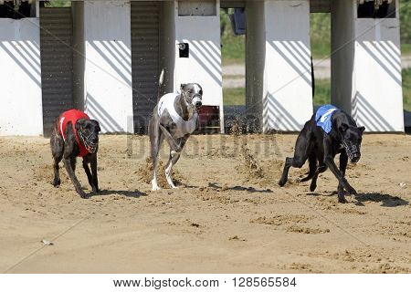 Start of a greyhound whippet race. Greyhounds with starting gates
