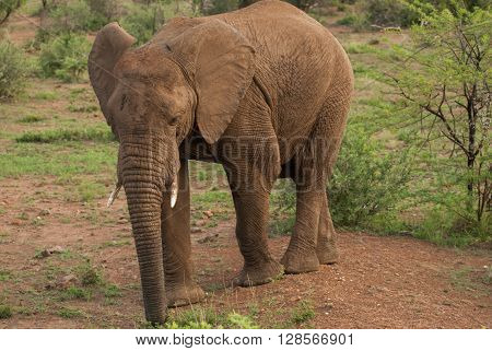 An African elephant in a national park in South Africa
