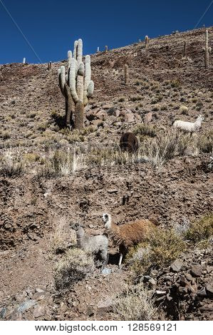 Llamas Grazing Near The Road, Colorful Valley Of Quebrada De Humahuaca, Central Andes Altiplano, The