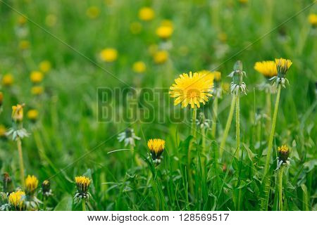 Sunny yellow flowers blowballs in the green vivid grass background in summer