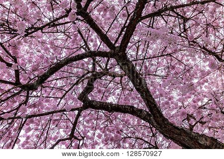 A cherry blossom tree in full bloom during the first week of Spring.