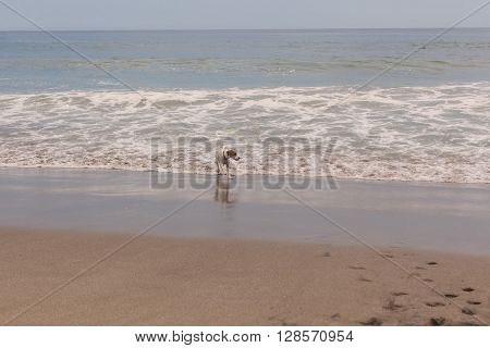 Jack Russell Terrier Looking At The Foamy Waves Pacific Ocean