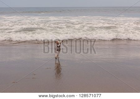 Jack Russell Terrier Runs And Plays At Pacific Ocean