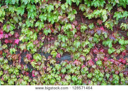 Climbing plant, Ivy leaves on the brick wall turning into from green to Autumn red shade