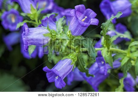 Macro of canterbury bells in a garden.