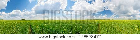 Panoramic view of rapeseed field in Belarus