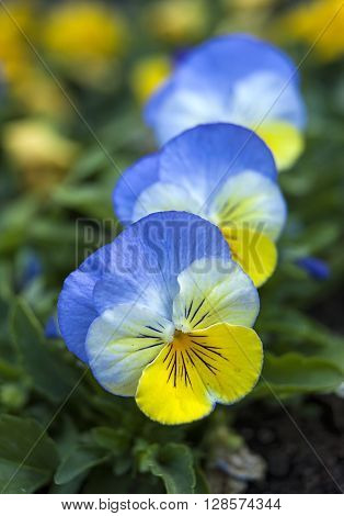 Row of blue and yellow pansies in the garden.