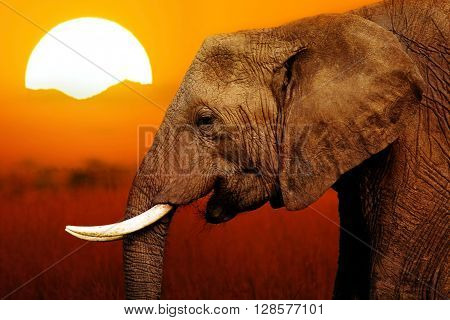 Elephant in savanna at African Sunset Background
